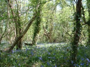 Vincents Wood in spring 2014