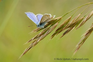 Male Common blue butterfly sunbasking on grass flowers, Wadswick Common, near Box. Copyright Nick Upton