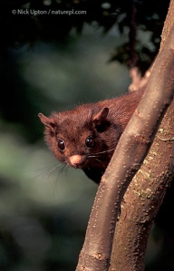 Red giant flying squirrel, Taiwan, May 2003. Copyright Nick Upton.